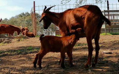 La raza caprina Retinta se marca el objetivo de incrementar su censo y la variabilidad genética